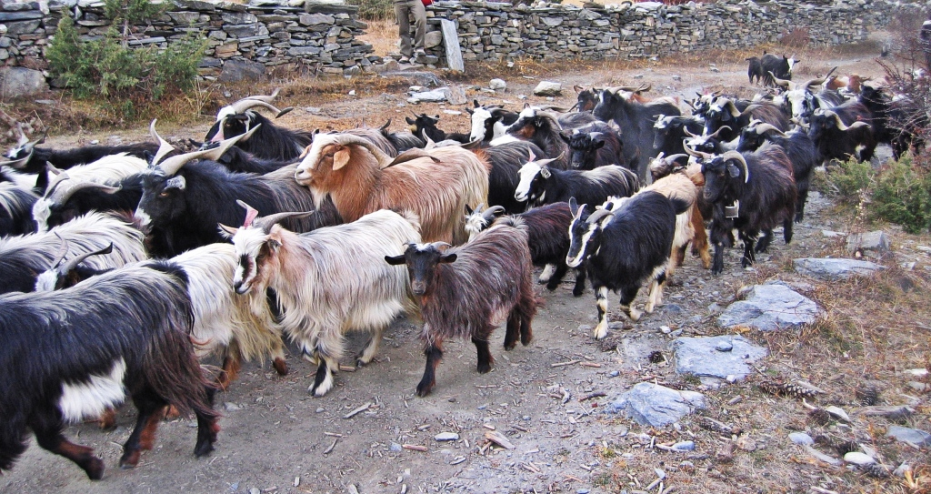 Goats, Pisang, Annapurna Circuit Route