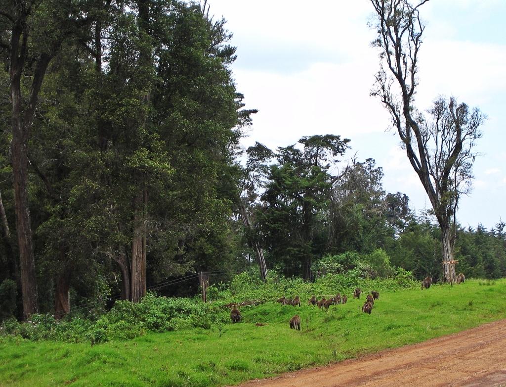 Baboons, Naru Moru Gate, Mount Kenya