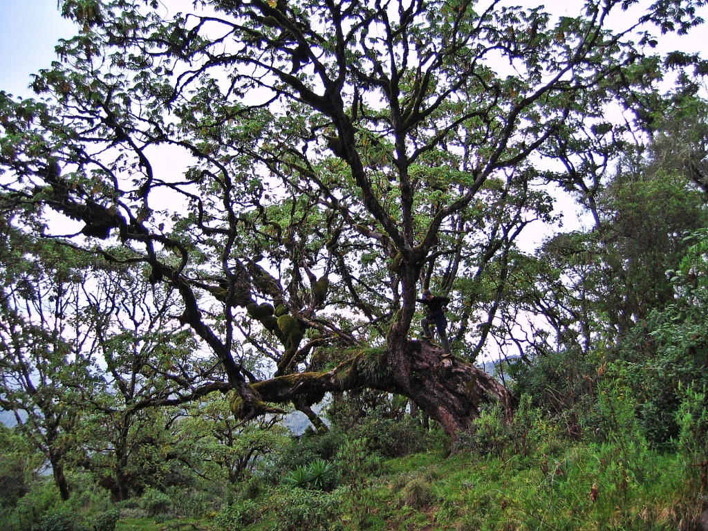 Large trees, Mount Kenya
