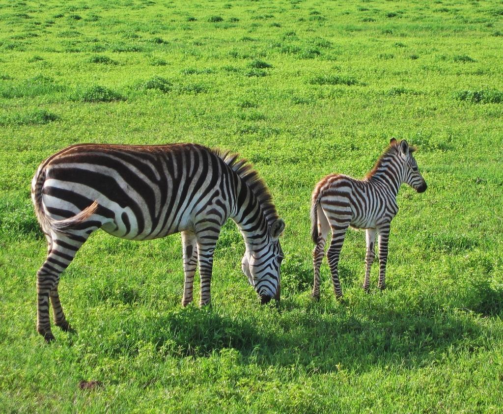 Zebras, Ngorongoro Conservation Area