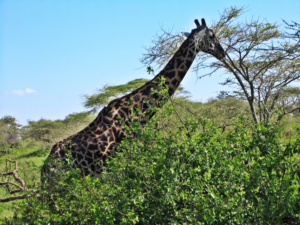 Giraffe, Serengeti National Park