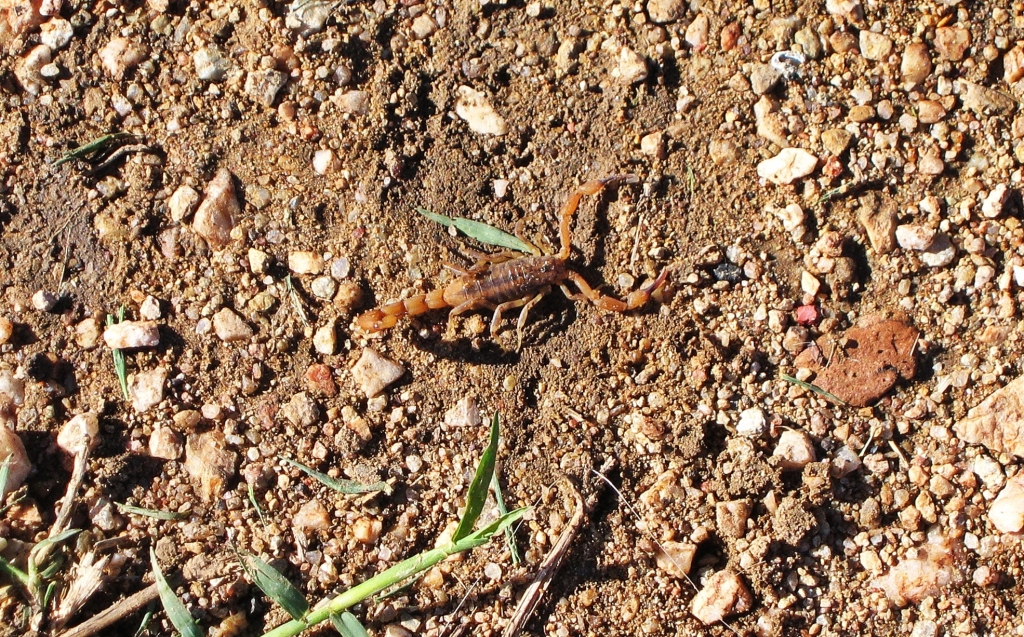Scorpion found under out tent