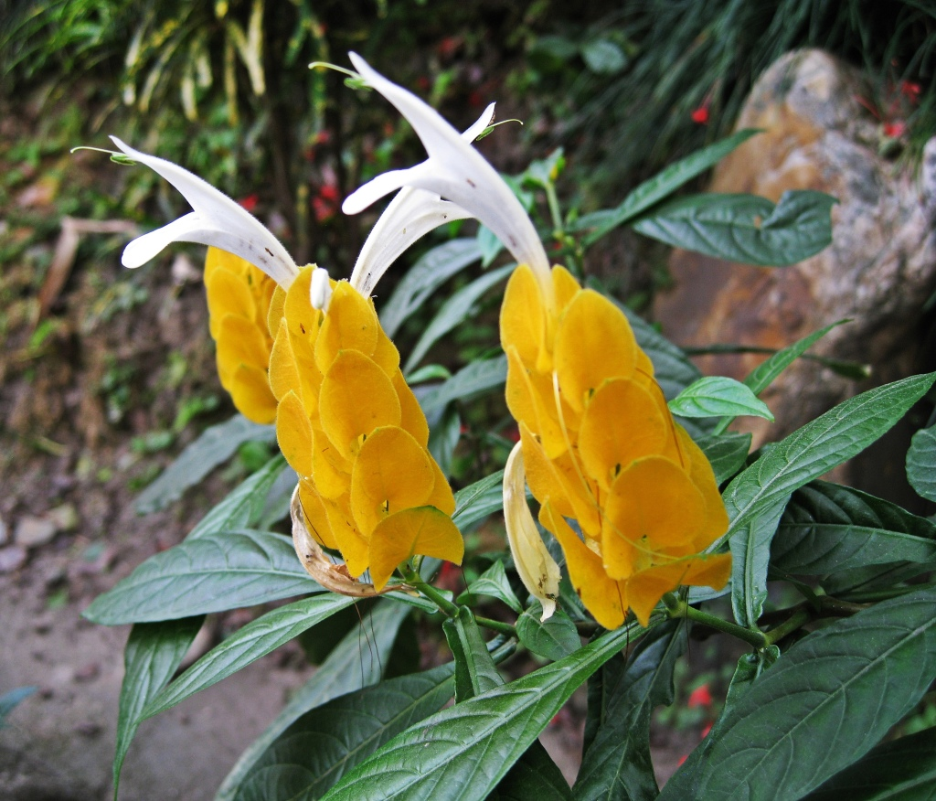 Yellow flower, Nepal