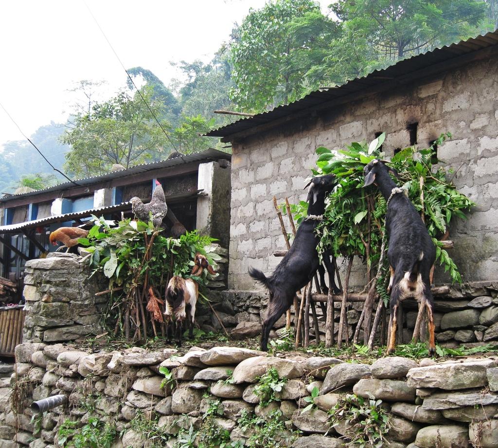Goats, Annapurna Circuit Trek