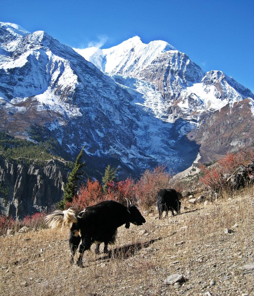 Yaks in front of Annapurna Range, Manang, Annapurna Circuit Trek