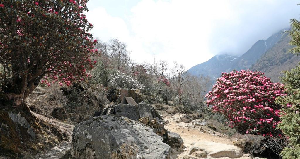Rhododendrons, Everest Basecamp Trek