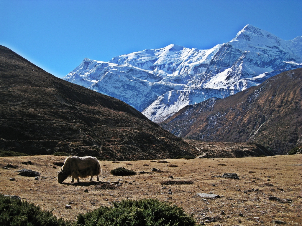 Yak in front of Gangapurna and Annapurna III, Annapurna Circuit Trek