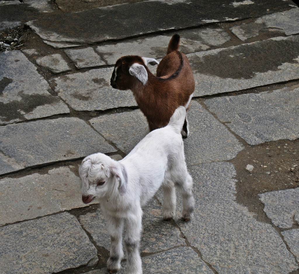 Baby goats, Annapurna Basecamp Trek