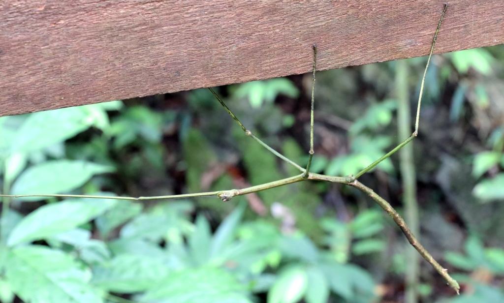 Stick bug, Gunung Mulu National Park