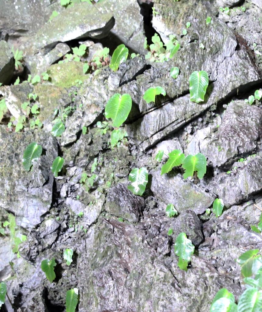 Single leaf plant, Gunung Mulu National Park