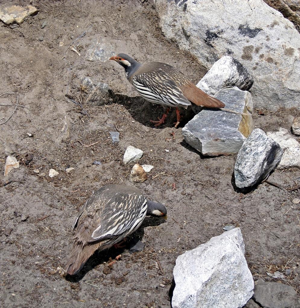 Himalayan Snow Partridges, Chukkhung