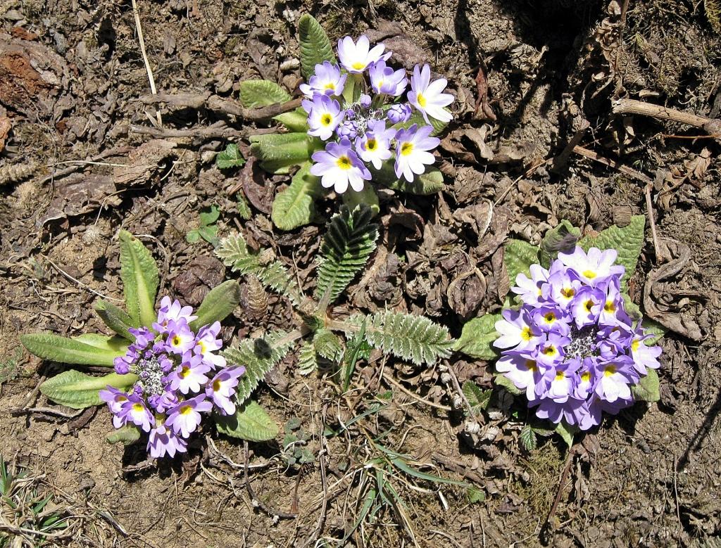 Spring flowers, Everest region