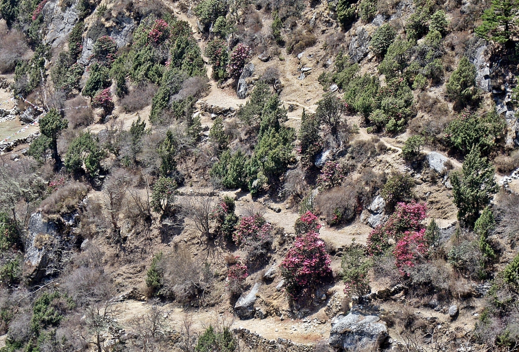 Rhododendron, Everest region