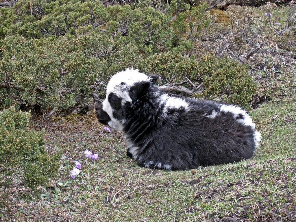 Baby Yak, Everest region