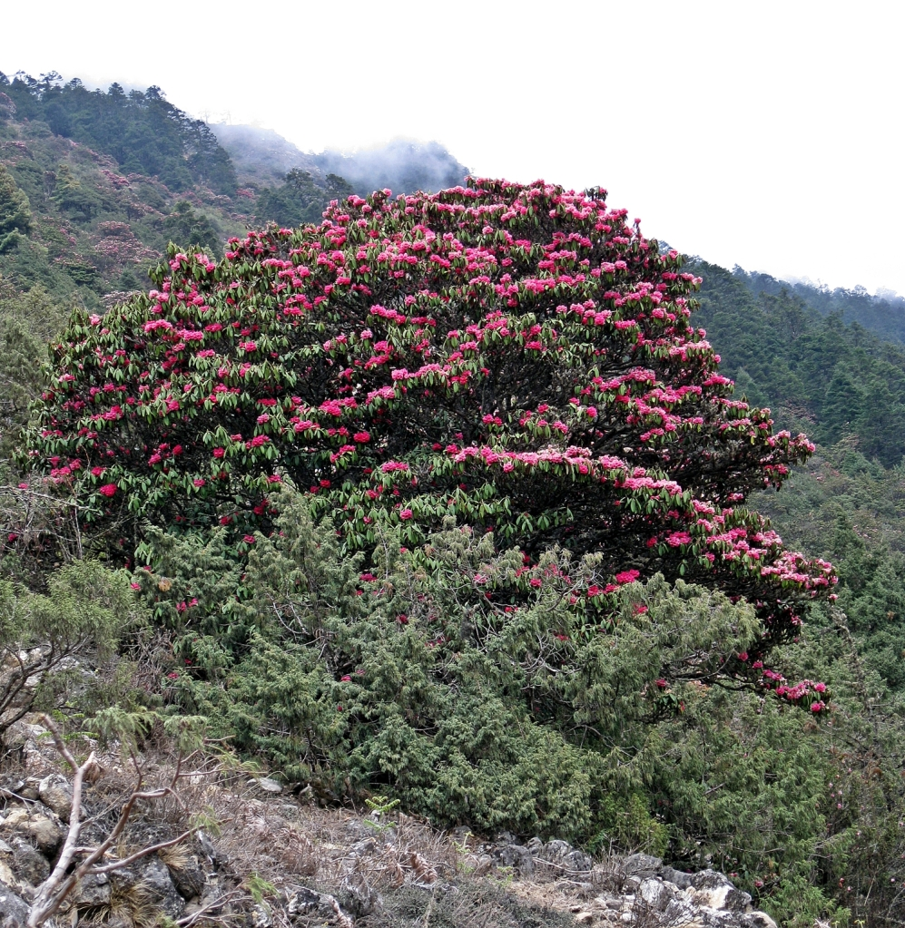Rhodadendron, Everest climb