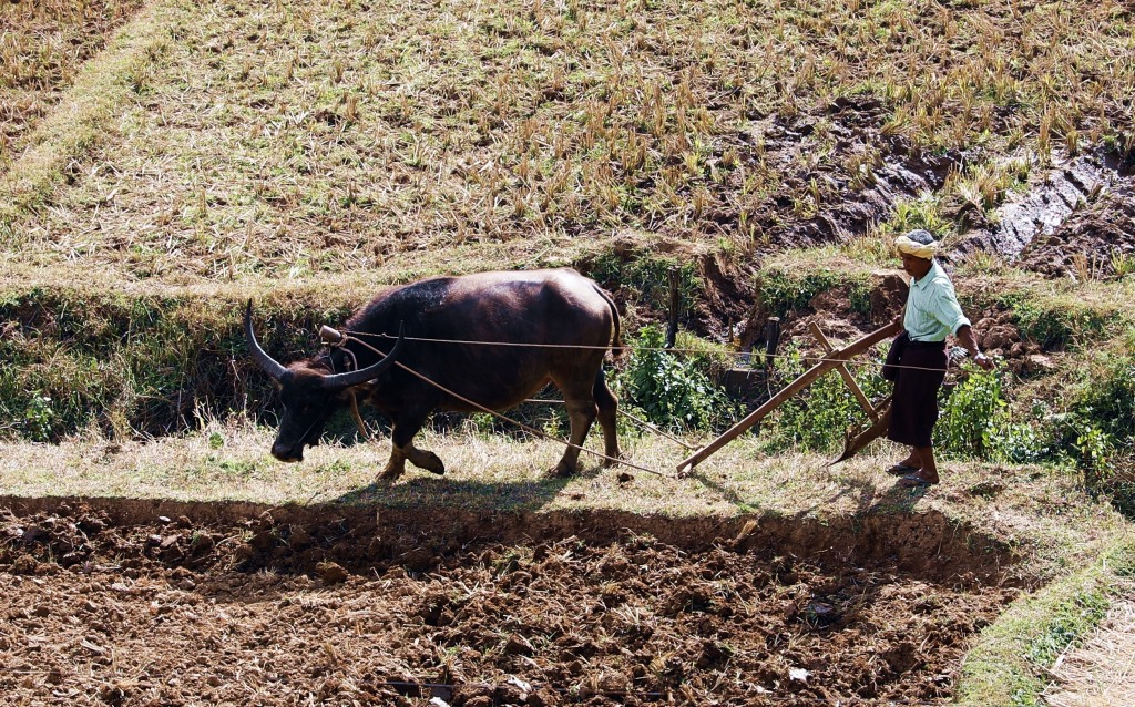 Farmer plowing his field with a buffalo, Kalaw to Inle trek