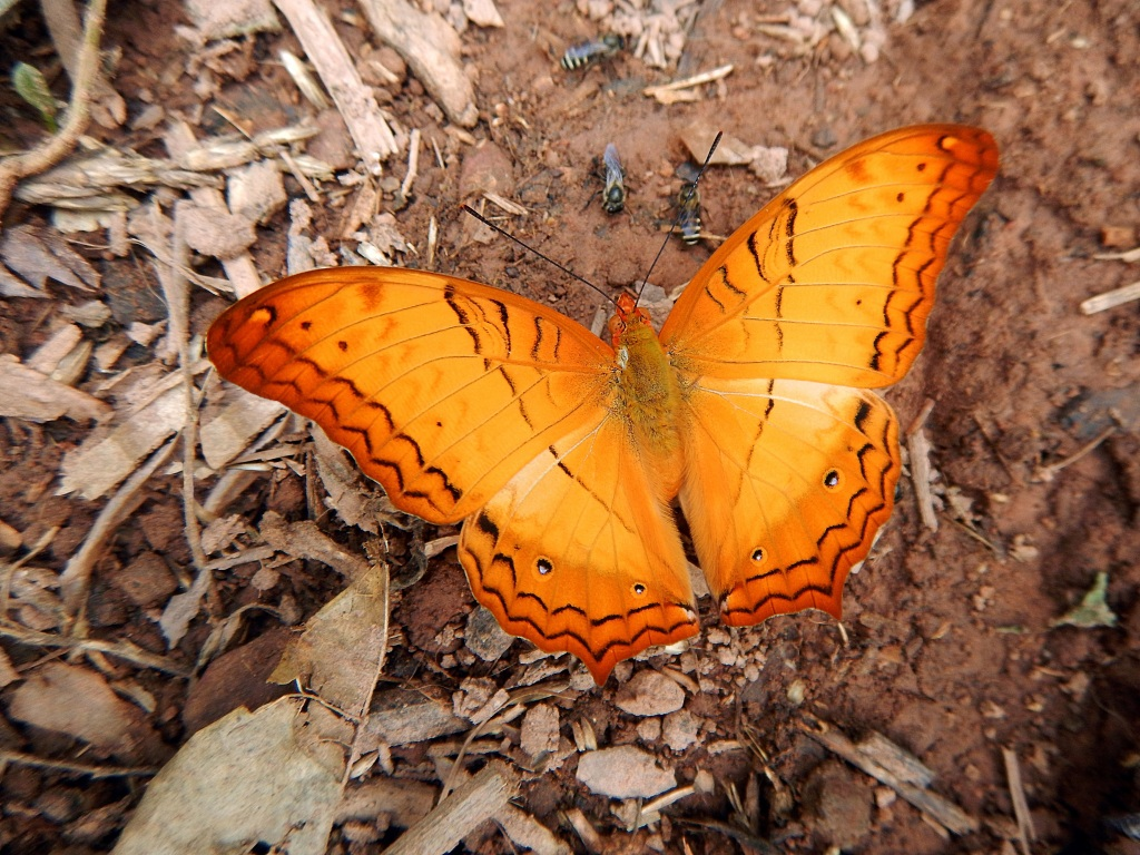 Butterfly, Nam Kan National Park