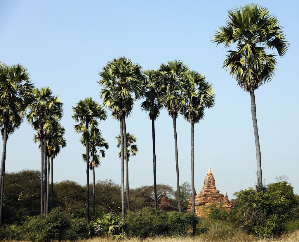 Palm trees, Bagan