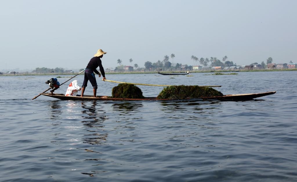 Harvesting seaweed, Inle Lake