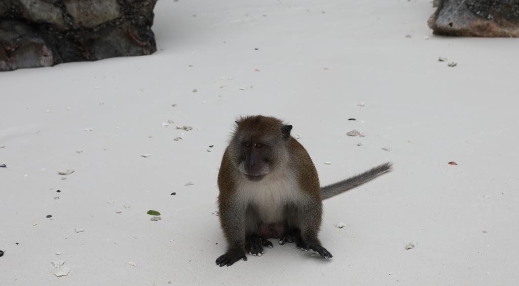 Macaque, Monkey Beach