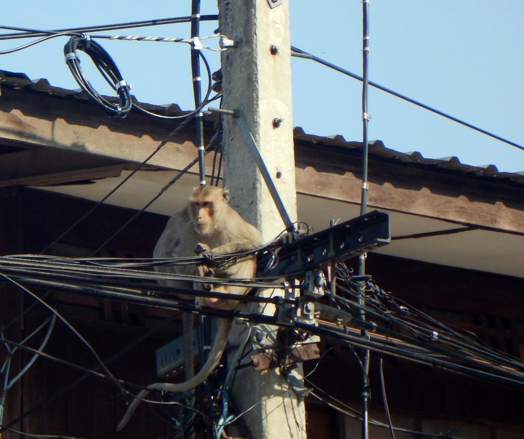 Monkey, Phet Buri