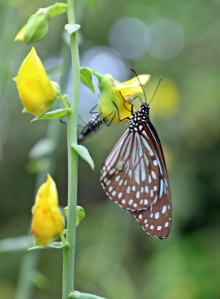 Butterfly, Koh Phi Phi Don