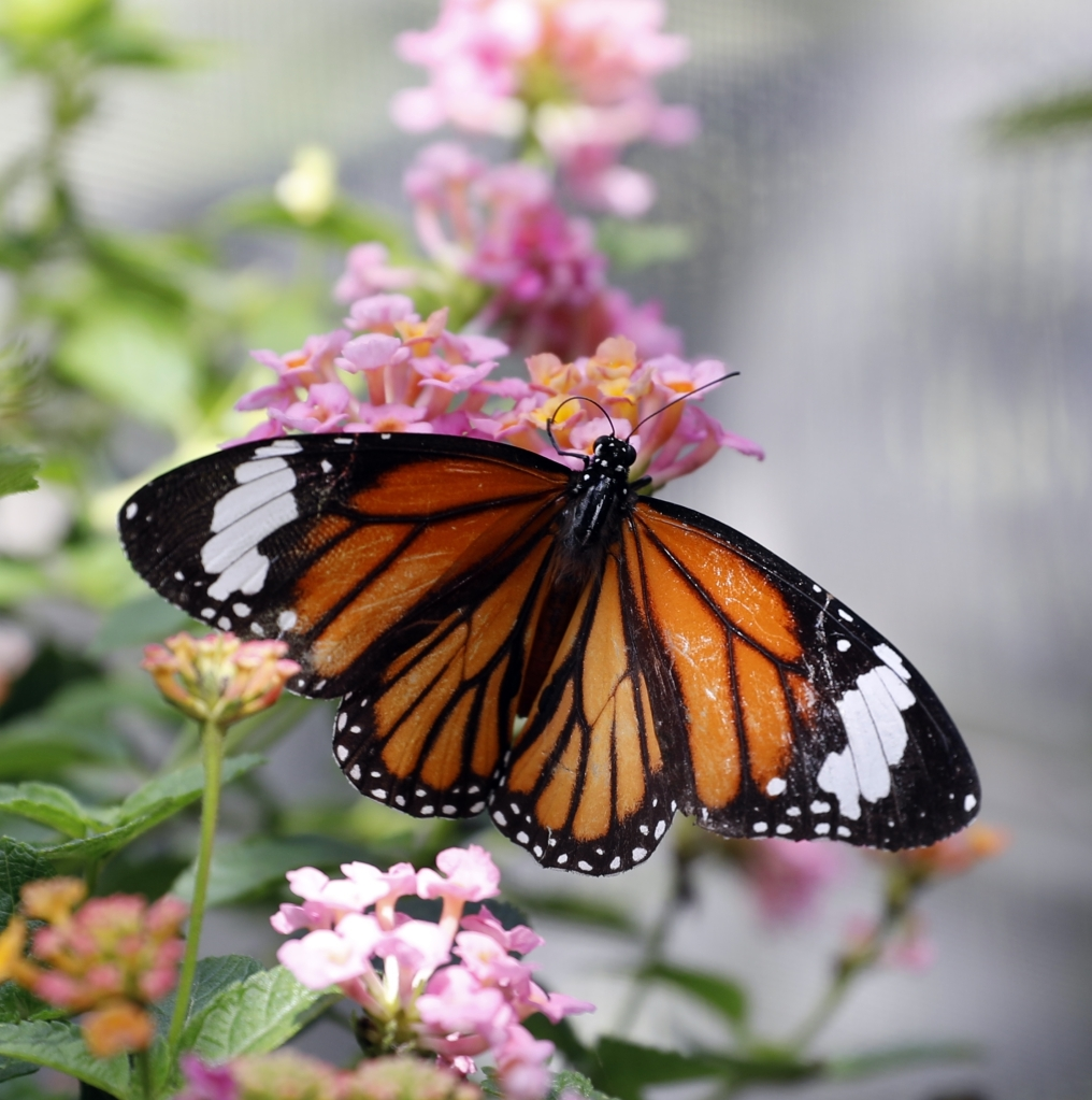 Butterfly, Chiang Mai