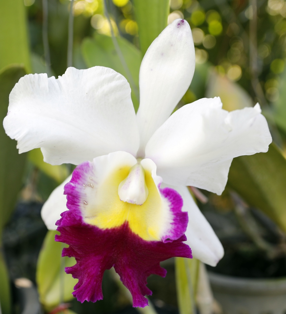 Orchid, Chiang Mai