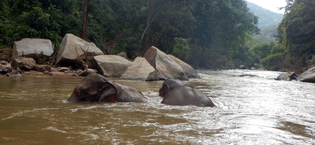Elephants bathing in the Mae Taeng River, Chiang Mai