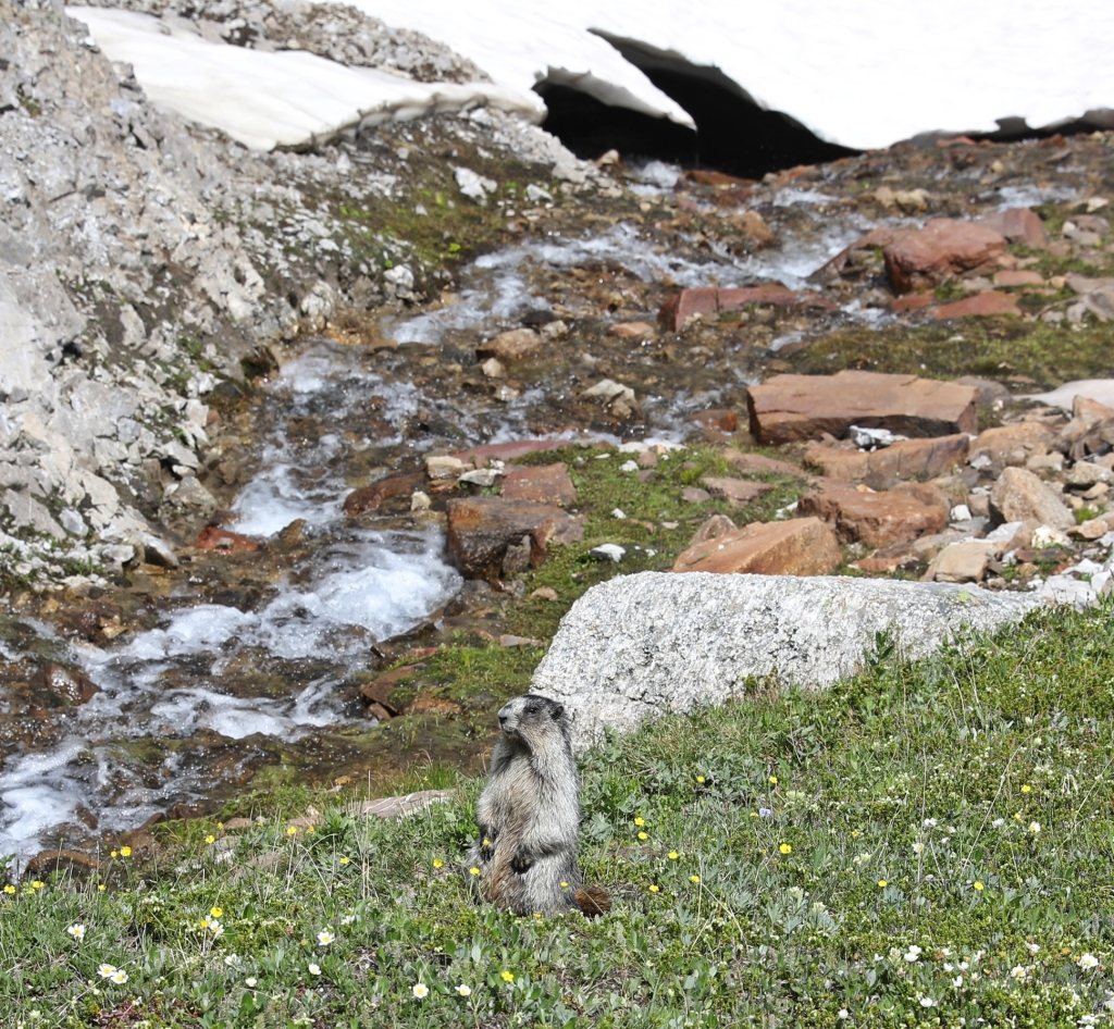 Marmot above Bourgeau Lake, Banff National Park