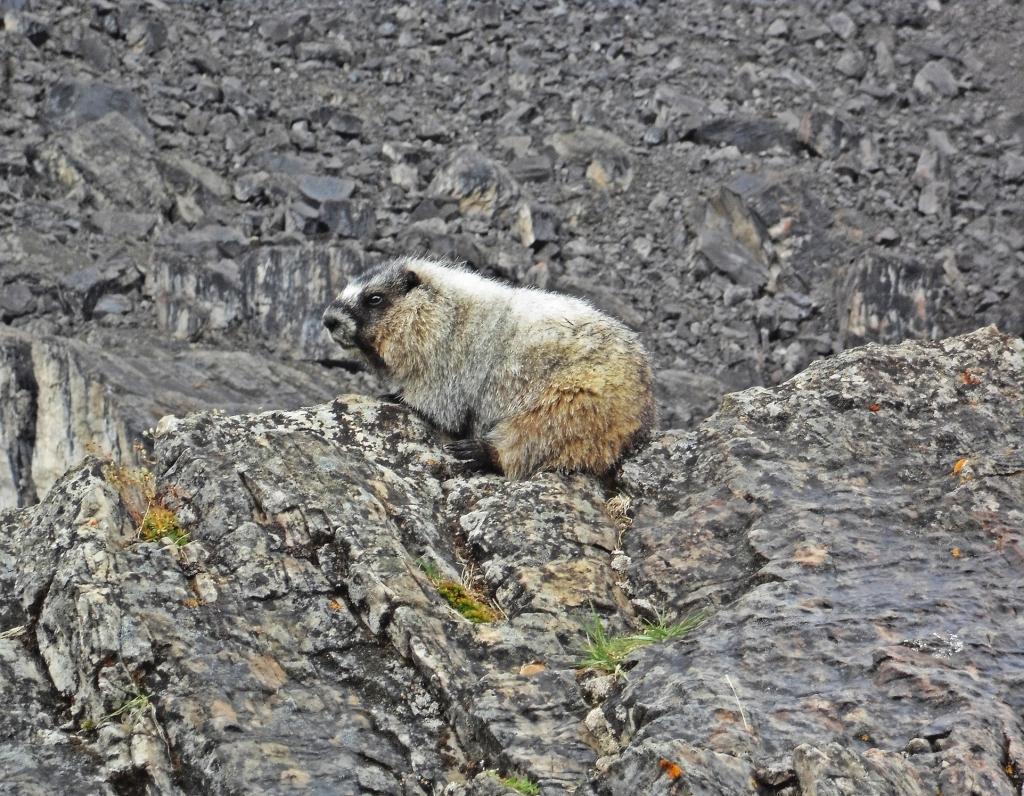 Marmot, Castle Mountain, Banff Natonal Park