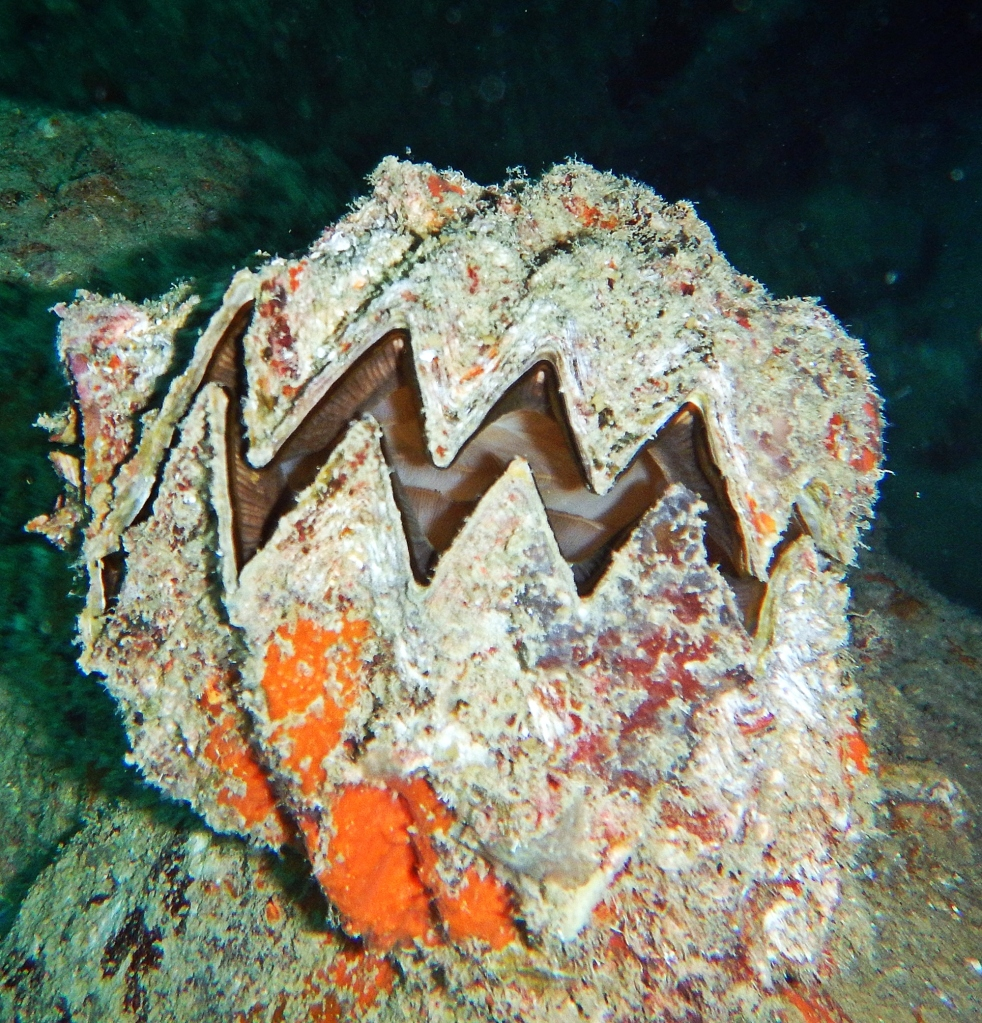 Vicious looking Giant Clam, Koh Tao