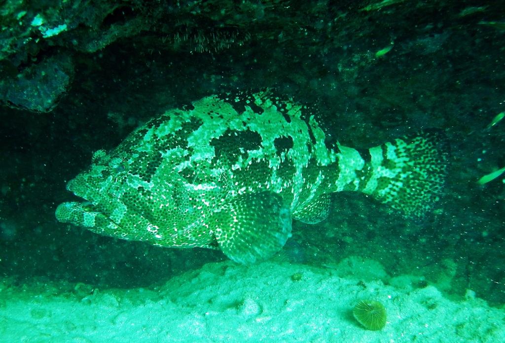Grouper Fish, Koh Tao