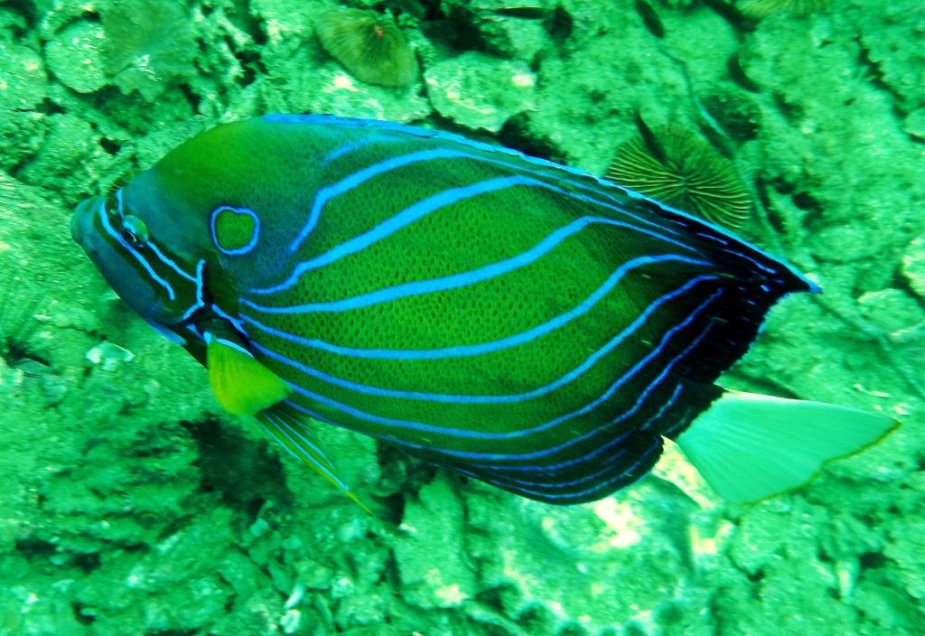 Emperor Angel Fish, Koh Tao