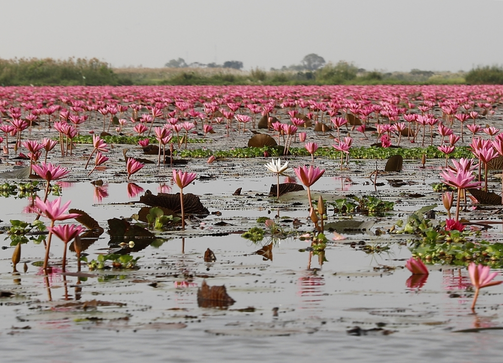 Red Lotus Sea, Thailand