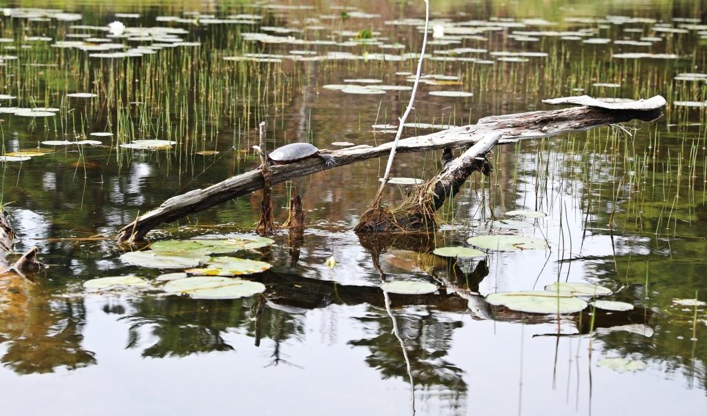 Turtle, Georgian Bay, Ontario