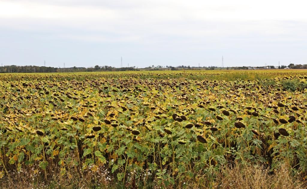 Sunflowers, Manitoba