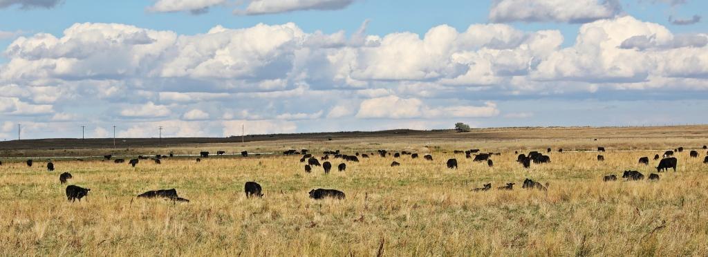 Cattle, Alberta